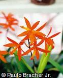 Cattleya cinnabarina