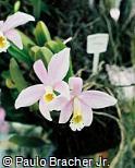 Cattleya jongheana