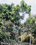 Cupania oblongifolia