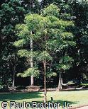 Sapium haematospermum