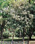 Macadamia ternifolia