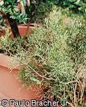 Hatiora bambusoides