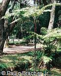 Cyathea microdonta