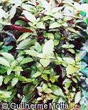Alternanthera brasiliana ´Purple Knight´