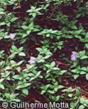 Ruellia squarrosa