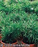 Asparagus falcatus ´Falcatus´