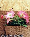 Petunia × hybrida ´Horizon´