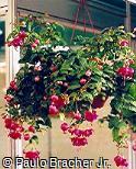 Fuchsia × hybrida ´Andrew Hadfield´