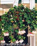 Fuchsia × hybrida ´Micky Gault´