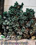 Euphorbia lactea ´Cristata´