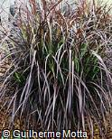 Miscanthus  ´Purpurascens´