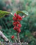 Goethea strictiflora