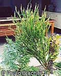 Baccharis genistelloides subsp. crispa