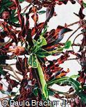 Codiaeum variegatum ´Tortille´
