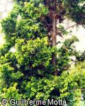 Cupressus macrocarpa ´Goldcrest´