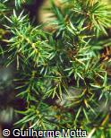 Juniperus communis ´Stricta´