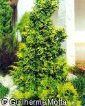 Chamaecyparis lawsoniana ´Lutea´