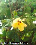 Hibiscus tiliaceus