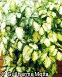 Polyscias paniculata ´Variegata´