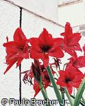 Hippeastrum  ´Red Lion´