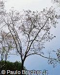 Calycophyllum spruceanum