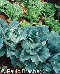 Brassica oleracea ´Capitata´