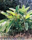 Heliconia pseudoaemygdiana