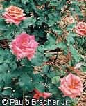 Rosa chinensis ´Ocarina´