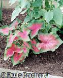 Caladium bicolor ´Frieda Hemple´