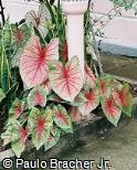 Caladium bicolor ´Hortulania´