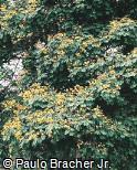 Peltophorum dubium