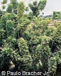 Schefflera arboricola ´Variegata´