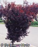 Prunus cerasifera ´Nigra´