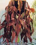 Rhipsalis rhombea
