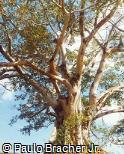 Ficus calyptroceras