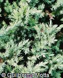 Juniperus virginiana ´Globosa´