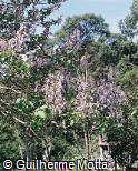 Paulownia imperialis