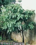 Cyphomandra betacea