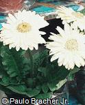 Gerbera jamesonii ´Kelly´