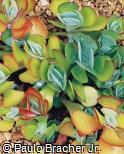 Kalanchoe tetraphylla