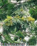 Caesalpinia leiostachya