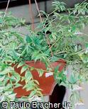Hoya lanceolata