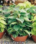 Philodendron hederaceum ´Brasil´