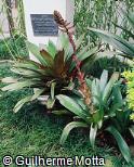 Vriesea imperialis ´Rubra´