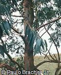 Corymbia citriodora