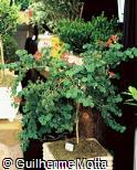 Bauhinia galpinii