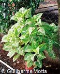 Plectranthus scutellarioides ´Apricot´