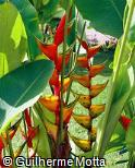 Heliconia bihai ´Lobster Claw One´