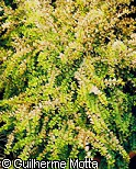 Lonicera ligustrina subsp. yunnanensis ´Baggesen´s Gold´
