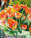 Tulipa gesneriana ´Ad Rem Royal´